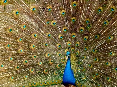 Peacock showing plumage